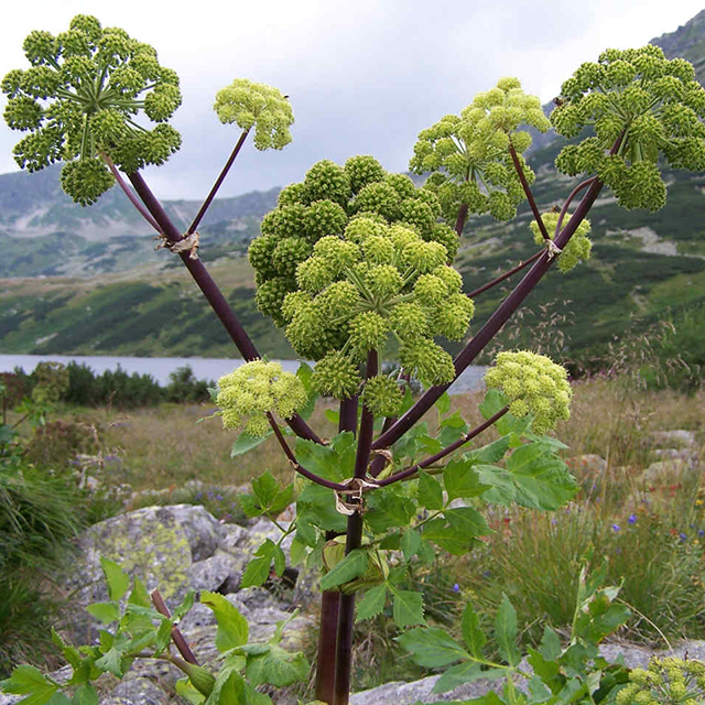 Angelica Tincture (Angelica archangelica)