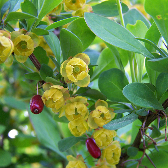 Barberry Bark Tincture (Berberis vulgaris)
