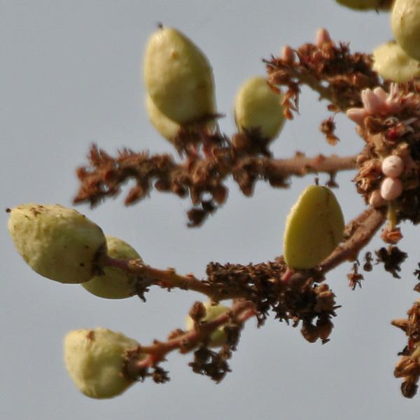 Frankincense Tincture (Boswellia serrata)