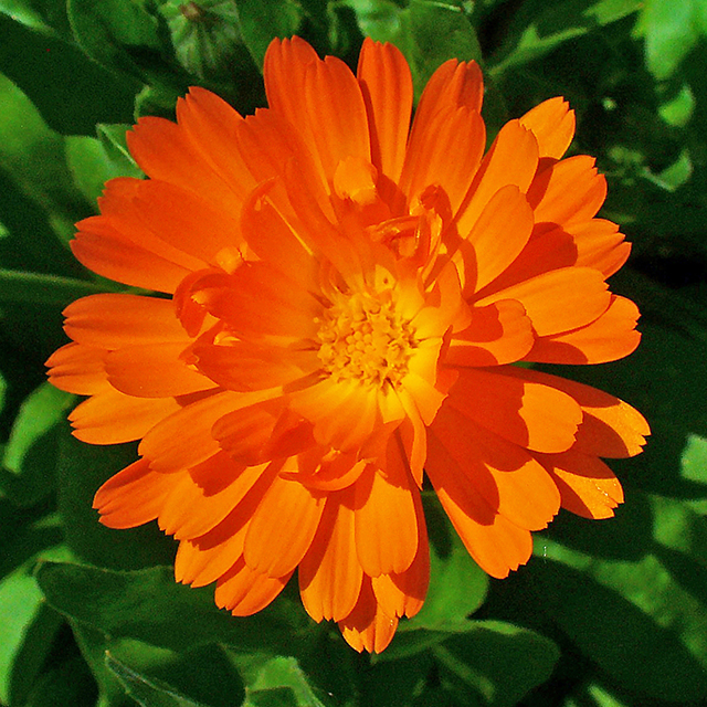 Marigold flowers (Calendula officinalis)