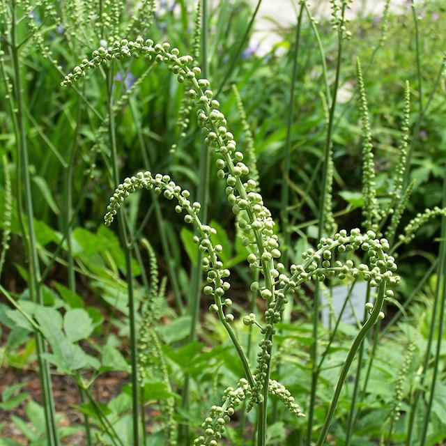 Black Cohosh Tincture (Cimicifuga racemosa)