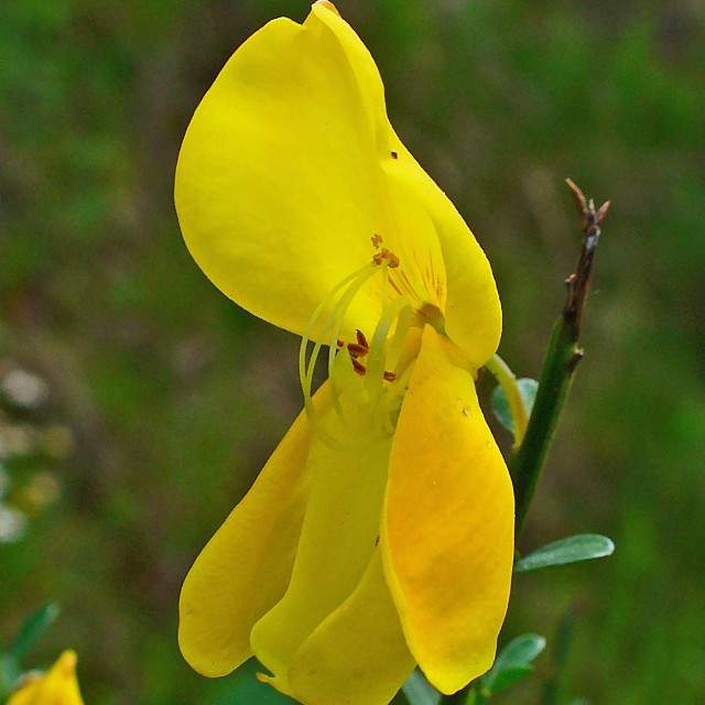 Scotch Broom Tincture (Cytisus scoparius)