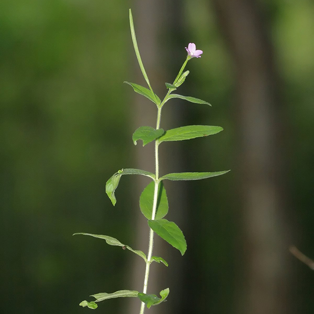 Smallflower Willowherb