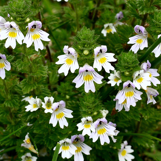 Eyebright Tincture (Euphrasia officinalis)