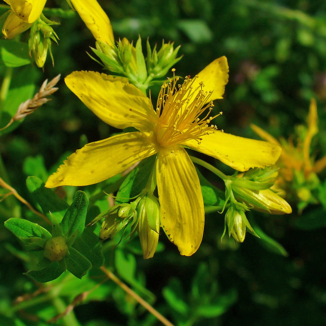 St John's Wort Powder