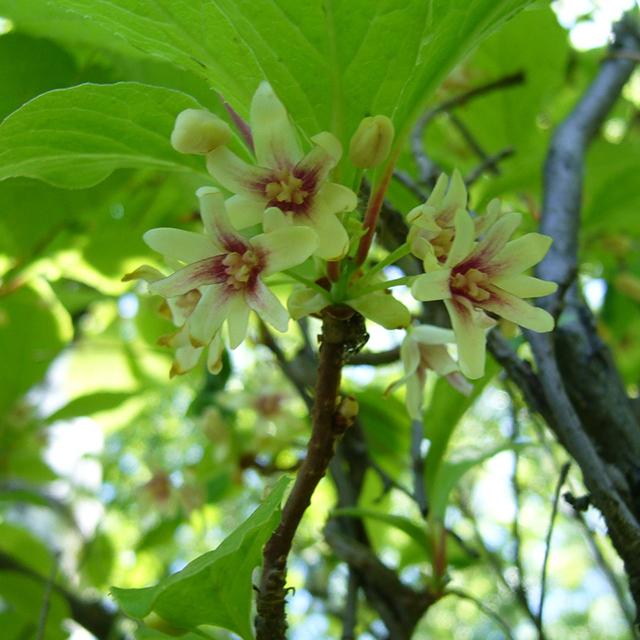 Schisandra Berries (Schisandra sinensis)