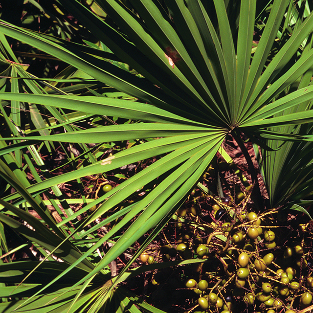 Saw Palmetto Berries (Serenoa serrulata)