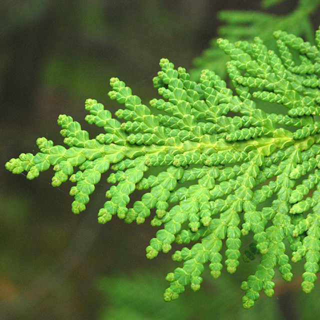 Thuja Tincture (Thuja occidentalis)