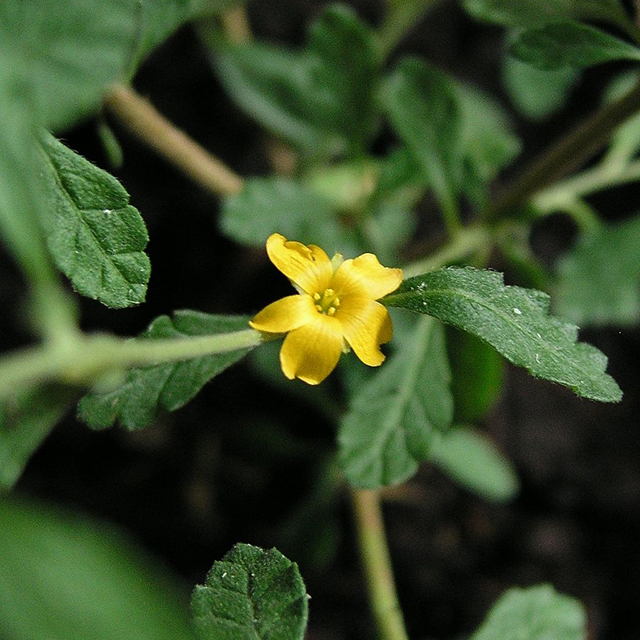 Damiana Tincture (Turnera diffusa)