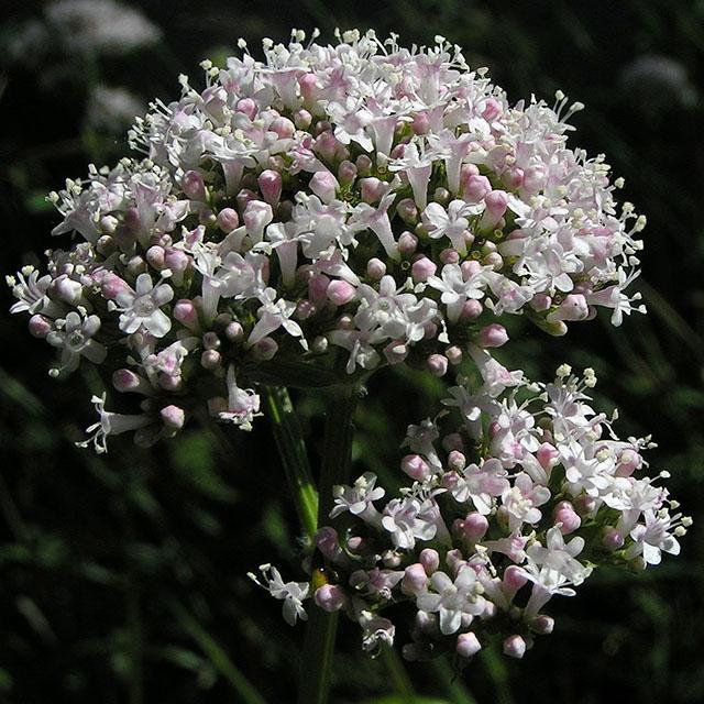 Valerian Tincture (Valeriana officinalis)