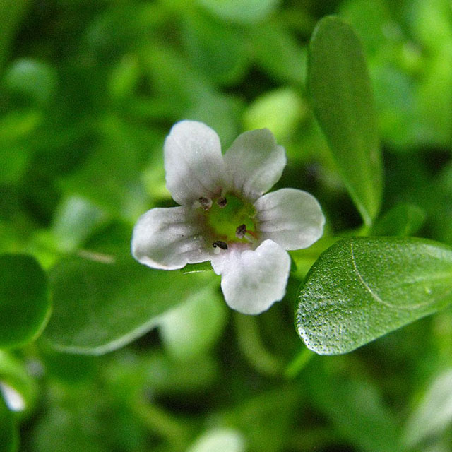 Brahmi Powder (Bacopa monnieri)