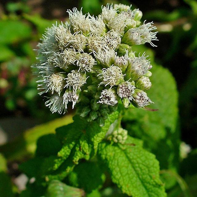 Boneset Tincture (Eupatorium perfoliatum)
