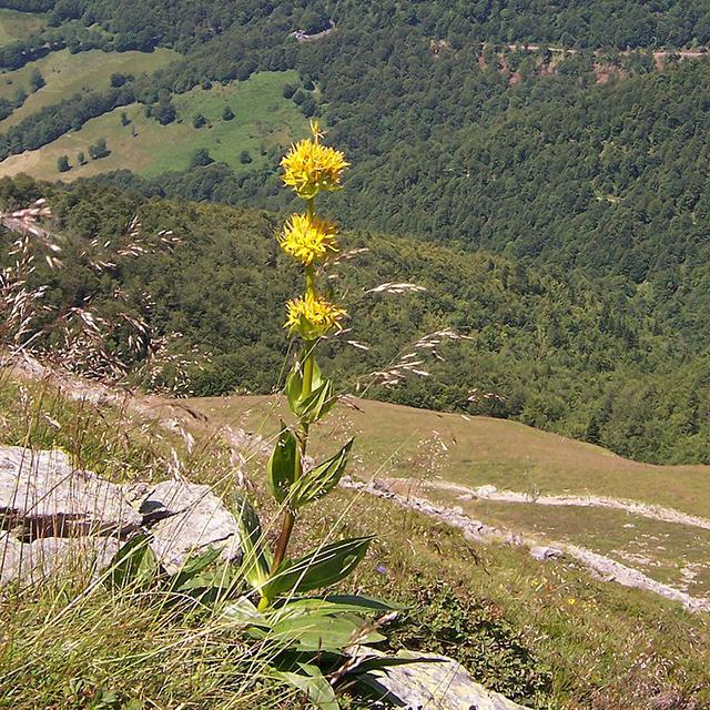 Gentian Tincture (Gentiana lutea)