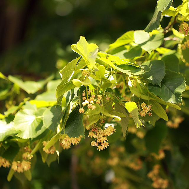 Lime Flower (Tilia europea)