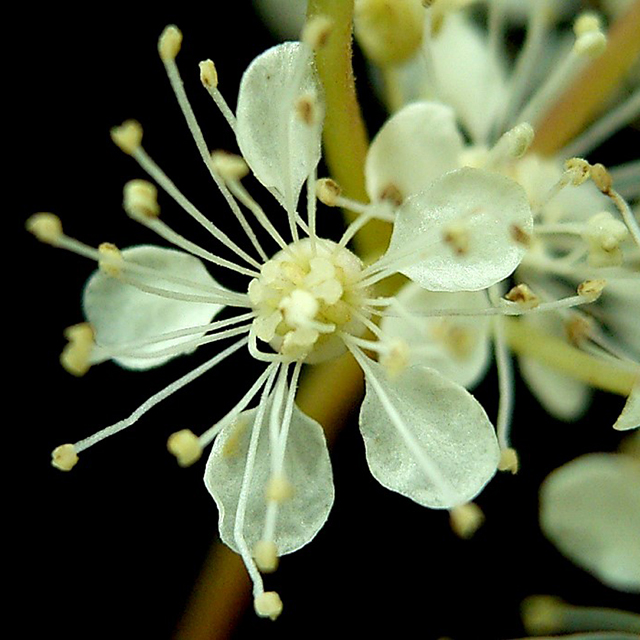 Meadowsweet Powder