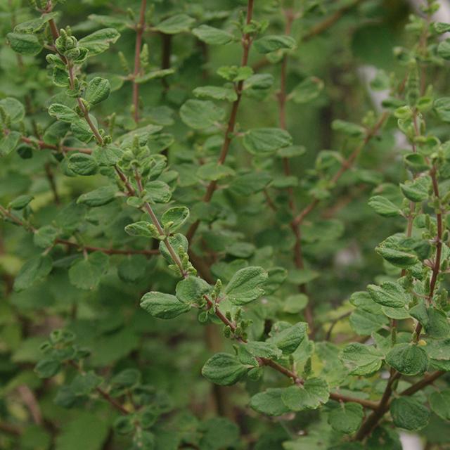 Myrrh Tincture (Commiphora molmol)