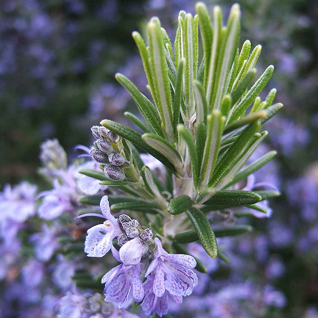 Rosemary (Rosmarinus officinale)