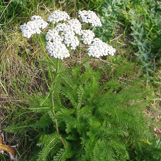Yarrow Tincture (Achillea millefolium)